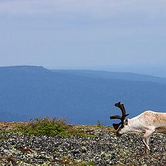 """фото """"Пейзаж с одиноким оленем"""""""
