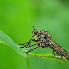 """фото """"robber fly"""""""