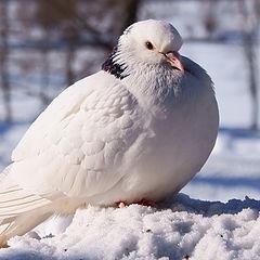 """фото """"Белый голубь"""""""