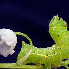 """photo """"макро,гусеница"""""""