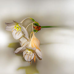 "фото ""Lily blossom"""