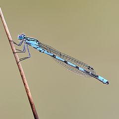 "photo ""Coenagrion puella - dragonfly"""