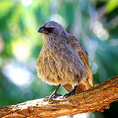 """фото """"Apostle bird, feeling less cranky after a bath in the creek"""""""
