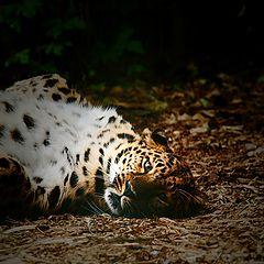 "photo ""Panthera pardus orientalis"""