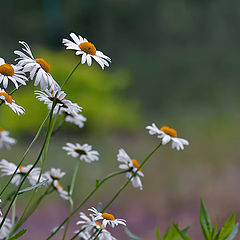 """photo """"Camomile tenderness."""""""