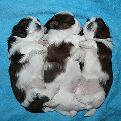 "photo ""Shih Tzu puppies"""