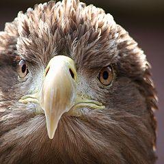 """photo """"Sea Eagle"""""""