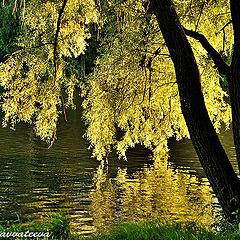 """фото """"Золотистый свет в ветвях ивы"""""""
