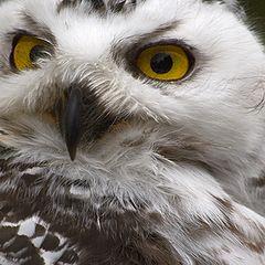 "photo ""Snow Owl"""