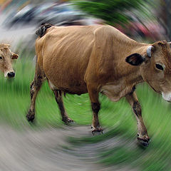 "photo ""Cattle, coming together ..."""