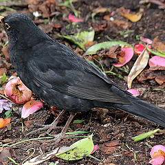 """photo """"Blackbird in my Garden."""""""