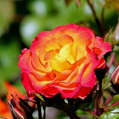 "photo ""A Summer Rose: (Anna Leese)."""