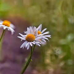 """photo """"White daisy daisy embraced ..."""""""