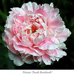 "photo ""Peonie 'Sarah Bernhardt'"""