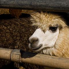 """фото """"Мицпе Рамон. Альпака с голубыми глазами."""""""