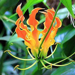 "photo ""Gloriosa superba. (Gloriosa lily)"""