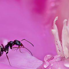 """photo """"Fotoduel. Ant in a pink kingdom."""""""