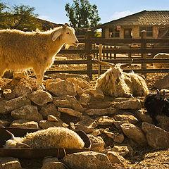 """фото """"Козлиная семейка. На ферме. Мицпе Рамон."""""""
