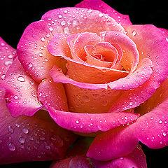 """фото """"Rose rain"""""""