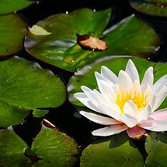 """фото """"water lily"""""""