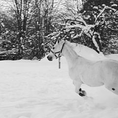 """фото """"Белый конь на белом снегу"""""""