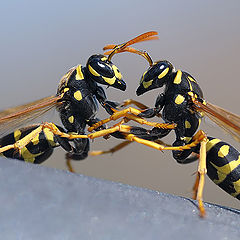 """фото """"Battle of the wasp"""""""