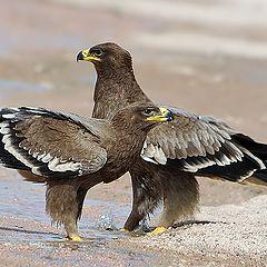 "фото ""Steppe eagle"""
