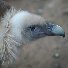 """фото """"Vulture"""""""