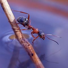 """photo """"макро муравей"""""""