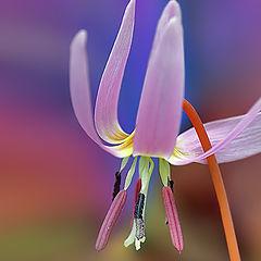 """фото """"Erythronium dens-canis"""""""
