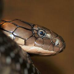 "photo ""King Cobra"""