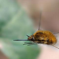 """фото """"Bombylius in flight"""""""