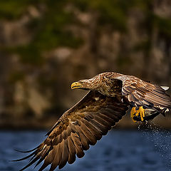 """фото """"White Tailed Eagel...."""""""