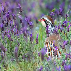 "фото ""Red-legged Partridge"""