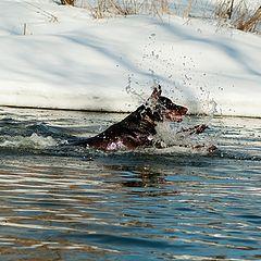 """фото """"Доберман, который любит нырять и купаться-1"""""""
