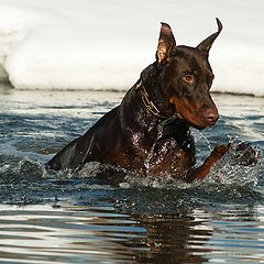 """фото """"Доберман, который любит нырять и купаться-2"""""""