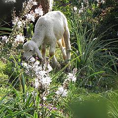 "photo ""Lamb"""