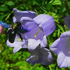 """фото """"Говорят, что пчела..."""""""