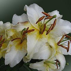 """фото """"Белые лилии после дождя"""""""