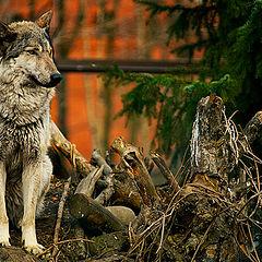 """фото """"Волк"""""""