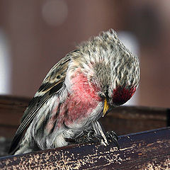 """photo """"Redpoll with sunflower seed"""""""