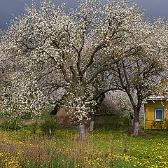 "photo ""Apple tree in spring."""
