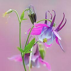 """фото """"Аквилегия - волшебный цветок эльфов"""""""