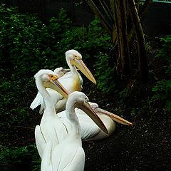 """фото """"pelicans2"""""""