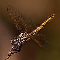 "фото ""Dragon fly"""