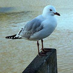 """photo """"Seagull"""""""