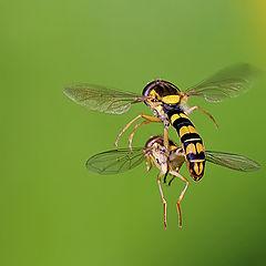 "фото ""Mating in flight"""