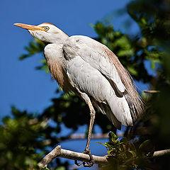 """фото """"Cattle egret"""""""