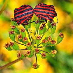 "фото ""mating stink bugs"""
