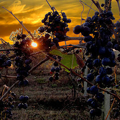 """photo """"Grapes in Toscana"""""""